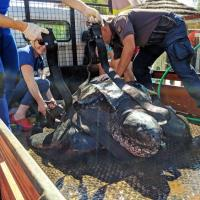 """Research Fund - 19/07 When Ana Daniela Soares Ferreira told us about a crowdfunding campaign that's focusing on equipping a 300 kg leatherback turtle recovered by our friend at Zoomarine Algarve, Portugal, we couldn't help ourselves and immediately donated 250 euros towards the satellite transmitters that will help track this magnificent animal once released back to the wild. We urge you to donate also <a href=""""https://ppl.pt/maosaomar?fbclid=IwAR0DZFZ_TMq9d3k5JUWB377gYZUUXHwSxNlXx-2DBr4o_mFgFYdaYmqeXsw"""" target=""""_blank""""><b><u>here</u></b></a>."""