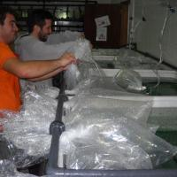 Istanbul Aquarium  November 2010 - The team was in high spirits opening all the bags with the cold water critters.