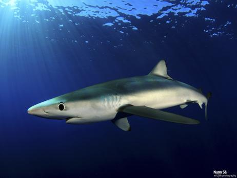 Common name: Blue shark