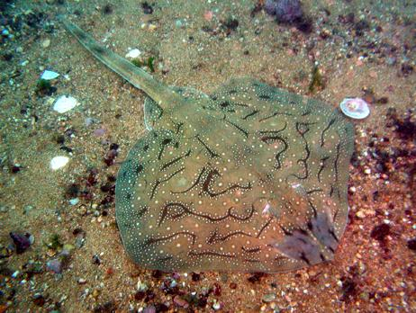 Common name: Undulate skate
