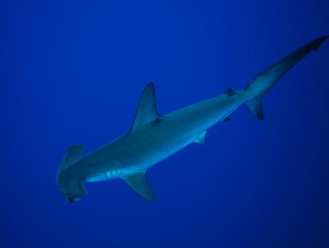 Common name: Smooth Hammerhead 