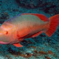 <em>Bodianus scrofa</em> - male Common name: Barred Hogfish