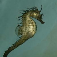 <em>Hippocampus guttulatus</em>  Common name: Long snouted seahorse 
