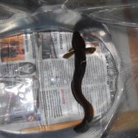 February 2012 Check out this beautiful 15 cm long <i>Gaidropsarus mediterraneus</i>.