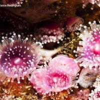 September 2012 Stunning Jewel anemones, <i>Corynactis viridis</i>.