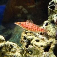 August 2011 After the rays were safely delivered, the crew slept for a few hours and then cruised the beautiful Nausicaá aquarium, admiring their multiple species, such as this amazing Hawkfish (<em>Paracirrhites</em> sp.).