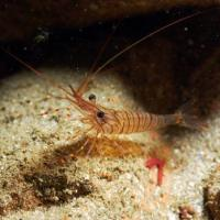 <em>Palaemon serratus / elegans</em> Common name: Common prawn