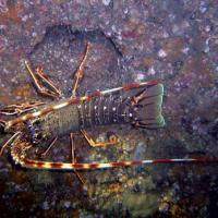 <em>Palinurus elephas</em> Common name: Spiny lobster