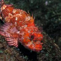 <em>Scorpaena maderensis</em> Scorpaena maderensis