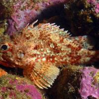 <em>Scorpaena notata</em> Common name: Largescaled scorpionfish