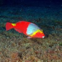 <em>Sparisoma cretense</em> - female Common name: Parrotfish (can provide both male and female, although only female is represented)