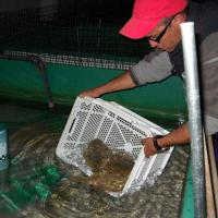 March 2012 As Rúben pulled out the Soles from the transport tanks, Zé Graça introduced them to their new home at Stolt Sea Farm.