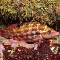 <em>Symphodus bailloni</em> Common name: Baillon's wrasse