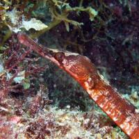 <em>Syngnathus acus</em> Common name: Great pipefish