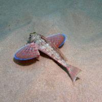 <em>Trigloporus lastoviza</em> Common name: Streaked gurnard