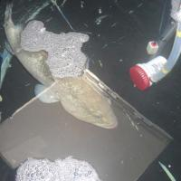 November 2011 Check out this beautiful Dusky grouper inside our transport tank.
