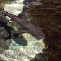May 2012 Within hours of being introduced to their new enclosure the two sharks were feeding and swimming beautifully.