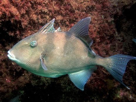 Common name: Grey triggerfish