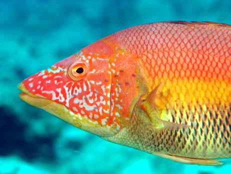Common name: Barred Hogfish