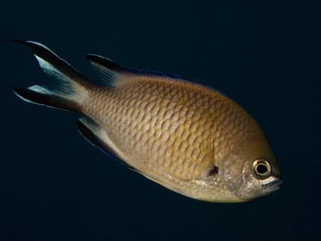 Common name: Azores Chromis