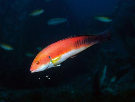 Common name: Mediterranean rainbow wrasse