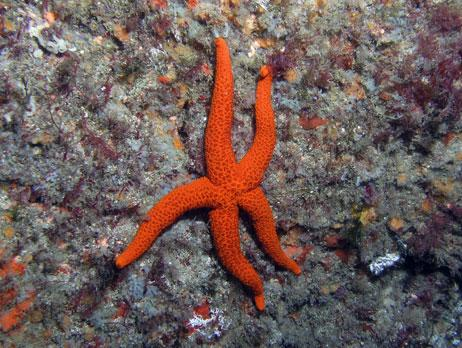 Common name: Red starfish