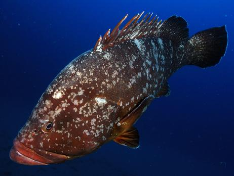 Common name: Dusky grouper