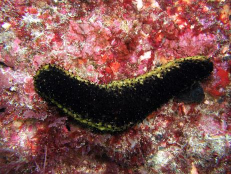 Common name: Sea cucumber
