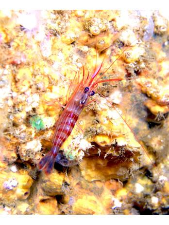 Common name: Monaco shrimp