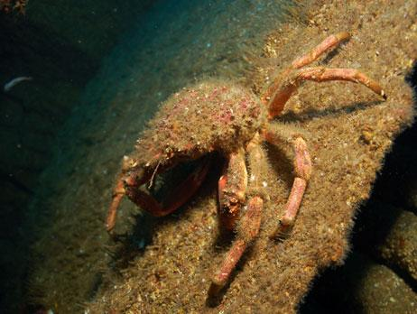 Common name: Spider crab