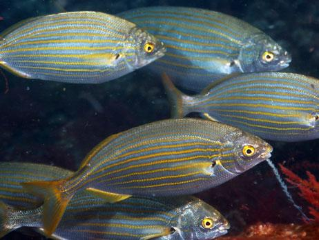 Common name: Cowbream
